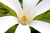 White magnolia flower Center of newly opened white magnolia flower Close-up