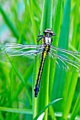 Emerging Common Clubtail, Gomphus vulgatissimus clings to marsh grass after emerging eyes are still grey and not fully formed Before first flight Wings not yet dried Eyes will change to olive or brown color as mature Males will turn green as they mat