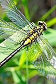 Emerging Common Clubtail, Gomphus vulgatissimus clings to marsh grass after emerging eyes are still grey and not fully formed Before first flight Drying wings Eyes will change to olive or brown color as mature Males will turn green as they mature Fe
