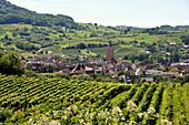 Winefield in the sunlight, Arbois, Jura, Franche Comté, Eastern France, Europe
