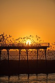 Aberystwyth pier at sunset with starlings roosting, Wales UK