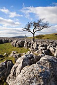Lone Tree and Limestone Pavement above Conistone in Wharfedale Y