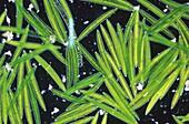 Closterium Chlorophyta Algae Optic micrsocopy