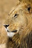 Panthera leo African lion Serengeti National Park Tanzania Africa