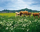 Cattle grazing on South Moor in front of Glastonbury Tor on The Somerset Levels, Glastonbury, Somerset, England, United Kingdom