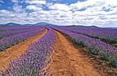 Bridestowe lavender farm, Northern Tasmania