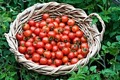 Freshly harvested cherry tomatoes and beans in a basket