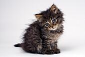 Cute six week old kitten