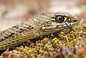 Juvenile Montpelier snake Malpolon monspessulanum
