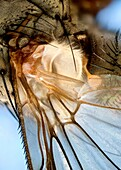 Extreme close up of a fly's wing root showing haltere
