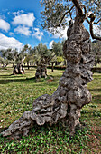 Olive Grove, Valldemossa, Majorca, Spain