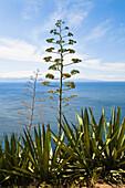 Agave in bloom (Agave americana) near coast, Corsica, France