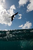 Frigatebird flying over Ocean, Fregata sp., Isla Mujeres, Yucatan Peninsula, Caribbean Sea, Mexico