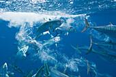 Bonitos hunting Sardines, Sarda sarda, Sardina pilchardus, Isla Mujeres, Yucatan Peninsula, Caribbean Sea, Mexico