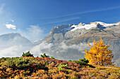 Larch in autumn colours in front of Rotstock, glacier Grosser Aletschgletscher, UNESCO World Heritage Site Swiss Alps Jungfrau - Aletsch, Bernese Alps, Valais, Switzerland, Europe