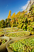Grapes in barrels during grape harvest, lake Geneva, Lavaux Vineyard Terraces, UNESCO World Heritage Site Lavaux Vineyard Terraces, Vaud, Switzerland, Europe