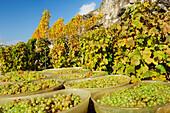 Grapes in barrels during grape harvest, lake Geneva, Lavaux Vineyard Terraces, UNESCO World Heritage Site Lavaux Vineyard Terraces, Vaud, Switzerland, Europe