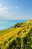 Vineyard with lake Geneva, lake Geneva, Lavaux Vineyard Terraces, UNESCO World Heritage Site Lavaux Vineyard Terraces, Vaud, Switzerland, Europe