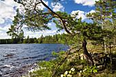 Kiefer am Ufer des St. Hindsjön Sees, Südschweden, Skandinavien, Europa