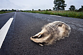 Dead badger on a country road, Smaland, Sweden