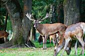 Red Deer belling, Cervus elaphus, Germany, Europe