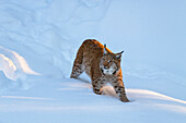 European lynx in the snow, Bavarian Forest National Park, Bavaria, Germany, Europe