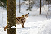European lynx in the snow, Bavarian Forest National Park, Bavaria, Germany, Europe