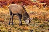 DEER ANIMAL Antler stag grazing glen Strathmore Sutherland