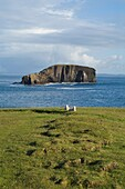 Dore Holm ESHA NESS SHETLAND Shetland sheep lambs sitting on cliff top and natural arch rock unihabitate