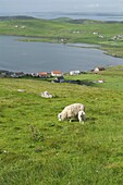 Whiteness Voe WHITENESS SHETLAND Sheep and lamb on hillside overlooking Nesbister and Whiteness Voe