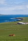 Eynhallow Sound EVIE ORKNEY Cow cattle farm animals Evie Eynhallow island and Rousay north coast