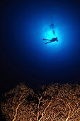 Israel, Eilat, Red Sea, - Underwater photograph of a diver swimming above an Anella Alcyonacea soft corals coral