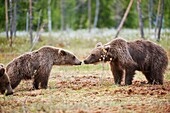 European brown bear in the Scandinavian taiga. Games adolescents. Kainuu Region. Finland. Europe