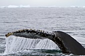 Humpback whale Megaptera novaeangliae flukes-up dive near the Antarctic Peninsula, Antarctica, Southern Ocean MORE INFO Humpbacks feed only in summer, in polar waters, and migrate to tropical or sub-tropical waters to breed and give birth in the winter