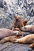 Northern Steller sea lion Eumetopias jubatus hauled out on South Marble Island in Southeastern Alaska, USA MORE INFO: This is the second largest of all pinnipeds in North America, with males reaching a length of over 10 feet and 2, 000 pounds while the fe