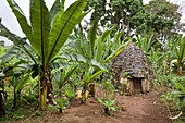 Huts of the Dorze people in the Guge Mountains of Ethiopia with groves of cooking banana, enset The tribe of the Dorze is living high up in the Guge Moutains above the ethiopian part of the rift valley Dorze can be translated with weaverWeaving of fa