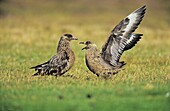 Skua or Northern Skua Stercorarius Skua greeting ceremony display of a pair during breeding season Northern Skuas are living near the coastlines of Northern Europe and are famous for their aggressivity and their Cleptoparasitism They are breeding in moo