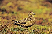 Skua or Northern Skua Stercorarius Skua portrait Northern Skuas are living near the coastlines of Northern Europe and are famous for their aggressivity and their Cleptoparasitism They are breeding in moor and heather areas close to the seashore Their w