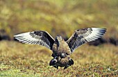 Skua or Northern Skua Stercorarius Skua mating Northern Skuas are living near the coastlines of Northern Europe and are famous for their aggressivity and their Cleptoparasitism They are breeding in moor and heather areas close to the seashore Their win
