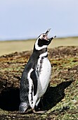 Magellanic penguin Spheniscus magellanicus trompeting at burrow in an typical overgrazed environment of the Falkland Isands The natural Vegetation for coastlines is Tussock Gras The range of Magellanic Penguins is primarily patagonia and the Falkland Is