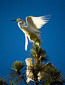 Great egret (Ardea alba, fam. Ardeidae) parent attempts to escape its ravenous chicks by climbing high up a tree.