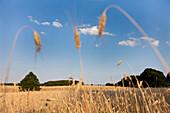 Grainfield near Gummlin, Usedom island, Mecklenburg-Western Pomerania, Germany
