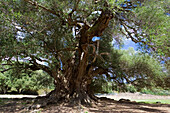 Three thousand year old olive tree, Olivastri millenari, Sardinia, Italy, Europe