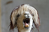 Lama pacos, alpaca with funny hairstyle in a zoo, Andes, South America, America