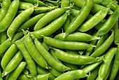 Green Peas, Close Up Organically Grown Freshly Picked Produce