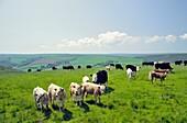 Cattle cows graze grazing summer pasture in Exmoor National Park near Brendon, Devon, England, UK