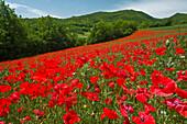 Poppies on hillside, Valnerina - near, Umbria, Italy