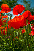 Poppies - close up, Valnerina - near, Umbria, Italy