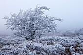 Hawthorn Tree covered in hoar frost, Exmoor National Park, Devon, UK - England