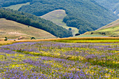 Wildflower meadow on the Piano Grande, Monti Sibillini National Park, Umbria, Italy
